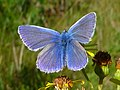 Male Common Blue Butterfly - geograph.org.uk - 1092562.jpg