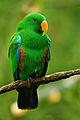 Male Eclectus Parrot.jpg