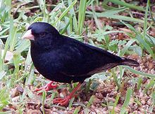 Male Variable Indigobird (Vidua funerea).jpg