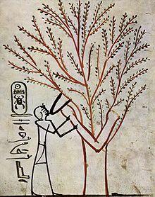 Ficus Sycomorus Wikipedia La Enciclopedia Libre