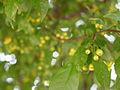 Malus sieboldii, fruit 16.jpg