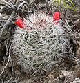 Mammillaria tetrancistra 2.jpg