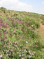 Managed Coastal Heathland on Chynhalls Cliff - geograph.org.uk - 31467.jpg