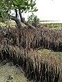 Mangrove Snorkels - panoramio.jpg