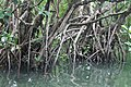 Mangroves of San Juan, Batangas 6.jpg