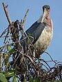 Marabou Stork Leptoptilos crumeniferus in Tanzania 4707 cropped Nevit.jpg