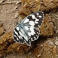 Marbled White. Melanargia galathea. - Flickr - gailhampshire.jpg