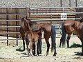 Mares and foals delivered to PVC 6-13 (7370033678).jpg