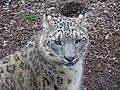 Marwell07-snowleopard.jpg