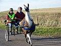 Mary-Ann the Llama - geograph.org.uk - 685269.jpg