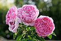 Rosa Mary Rosa / Роза Мари Роуз.  Розы.  Растения.  Каталог товаров.