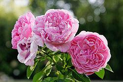 'Mary Rose', «rose anglaise» de David Austin au jardin botanique d'Albury