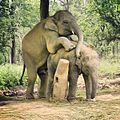 Mating elephants (18616779392).jpg