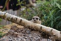 Meerkat Look Out (67080377).jpeg