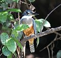 Megaceryle torquata Pantanal female.jpg