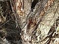 Melaleuca huegelii (bark).JPG