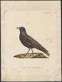 Melanocorypha tartarica - 1825-1834 - Print - Iconographia Zoologica - Special Collections University of Amsterdam - UBA01 IZ16100357.tif