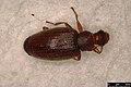 Melanophthalma sp. (24055138298).jpg