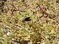 Meloidae Lydomorphus thoracicus Blister beetle IMG 8258.JPG