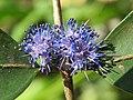 Memecylon umbellatum flowers at Peravoor (26).jpg