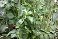 Mentha pulegium - upper leaves of young plant.jpg