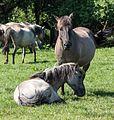 Merfeld, Wildpferdefang -- 2014 -- 0390.jpg