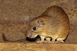 Echimyidae - The Ferreira's spiny tree-rat, Mesomys hispidus