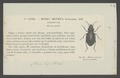 Metrius - Print - Iconographia Zoologica - Special Collections University of Amsterdam - UBAINV0274 009 05 0042.tif