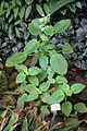 Microchirita lavandulacea (Chirita lavandulacea) - Botanischer Garten, Dresden, Germany - DSC08583.JPG
