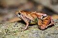 Microhyla berdmorei, Berdmore's chorus frog - Khao Luang National Park (29853193736).jpg