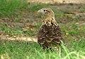 Milvago chimachima (Pigua) - Casi adulto (14413881617).jpg