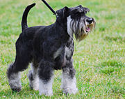 A black-and-silver Miniature Schnauzer with an un-docked tail and natural ears