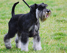 Miniature Schnauzer - Wikipedia, the free encyclopedia
