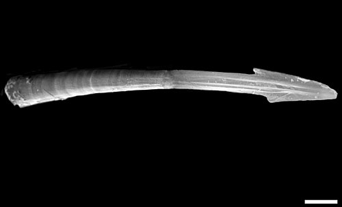 SEM image of lateral view of a love dart of the land snail Monachoides vicinus. The scale bar is 500 mm (0.5 mm). Monachoides vicinus dart lateral.jpg