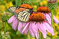 Monarch purple coneflower (24631010563).jpg