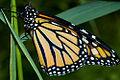 Monarchbutterfly05.jpg
