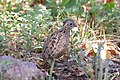 Montezuma Quail (female) South Fork Cave Creek AZ 2015-07-03at12-23-202 (19621342790).jpg