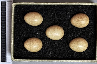 Grey wagtail - Eggs, Collection Museum Wiesbaden
