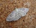 Mother of Pearl. Pleuroptya ruralis (37868101614).jpg