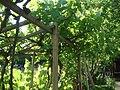Mothers grapevine - panoramio.jpg