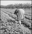 Mountain View, California. Picking strawberries before evacuation on a Santa Clara County ranch ope . . . - NARA - 536448.jpg