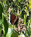 Mourning Cloak Butterfly (Nymphalis antiopa) - Oceanside, CA (12044685966).jpg