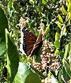 Mourning Cloak Butterfly (Nymphalis antiopa) - Oceanside, CA (12044685966).jpg