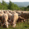Moutons-Viens.jpg