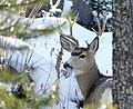 Mule deer buck (23448106099).jpg