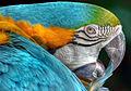 Multicolor parrot (7762260562).jpg