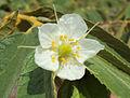 Muntingia calabura flower.jpg