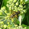 Myathropa florea - Flickr - gailhampshire (7).jpg