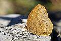 Mycalesis zonata dry season 20140101.jpg