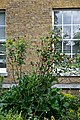 Myddelton House, Enfield, London - rose bush and house front.jpg